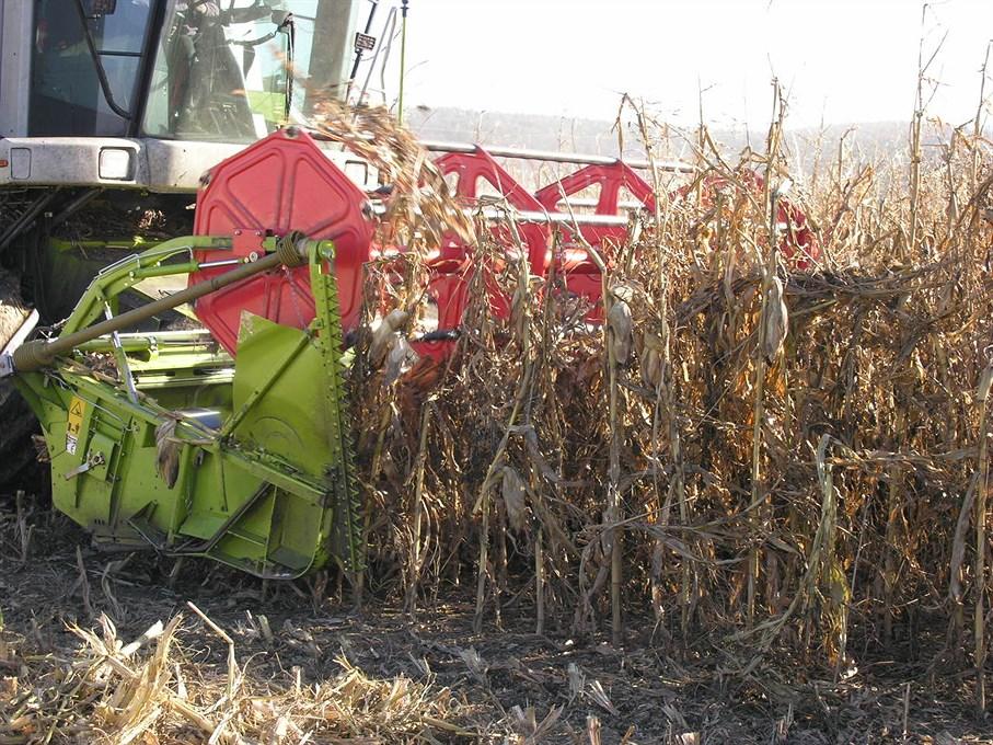 Beginn Mischanbau Käferbohne und Mais